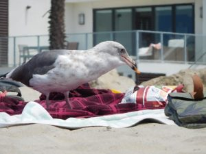 seagull eating chips