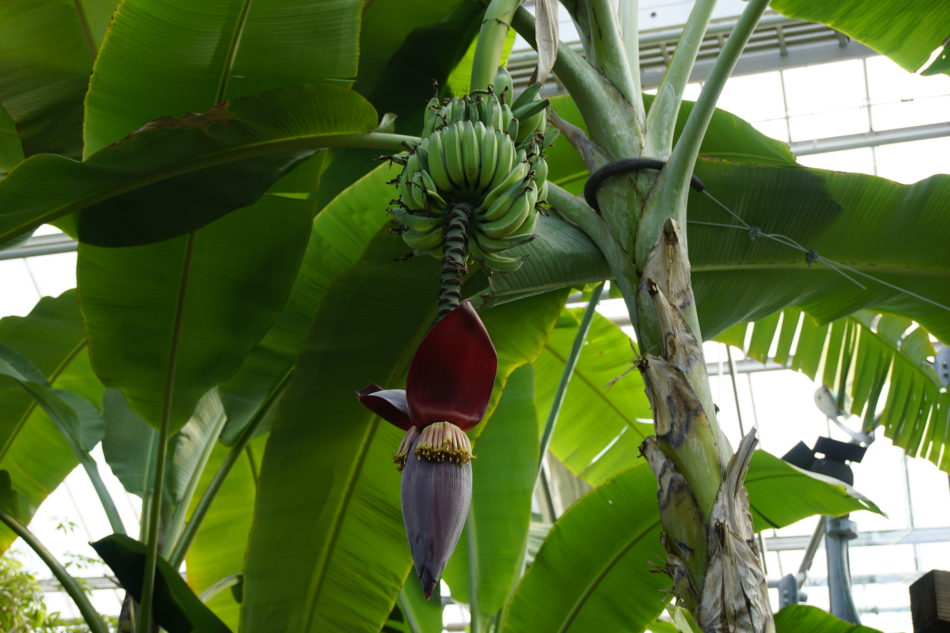 A banana tree at the Montreal Botanical Garden