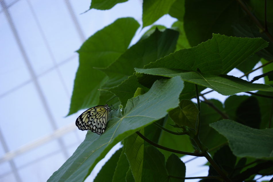 A light yellow butterfly on a leaf at the Montreal Botanical Garden