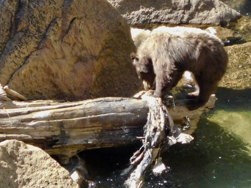 We saw a bear in Yosemite National Park