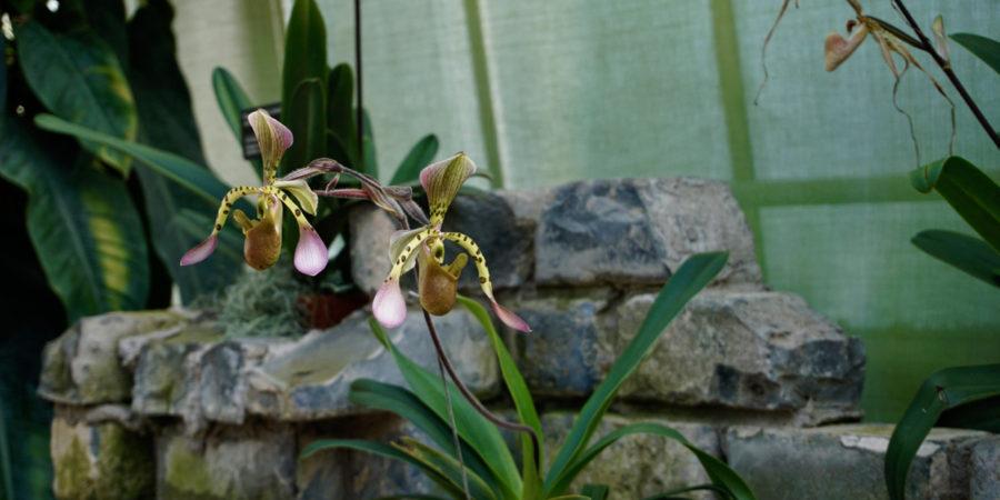 Deux magnifiques orchidées au jardin botanique de Montréal