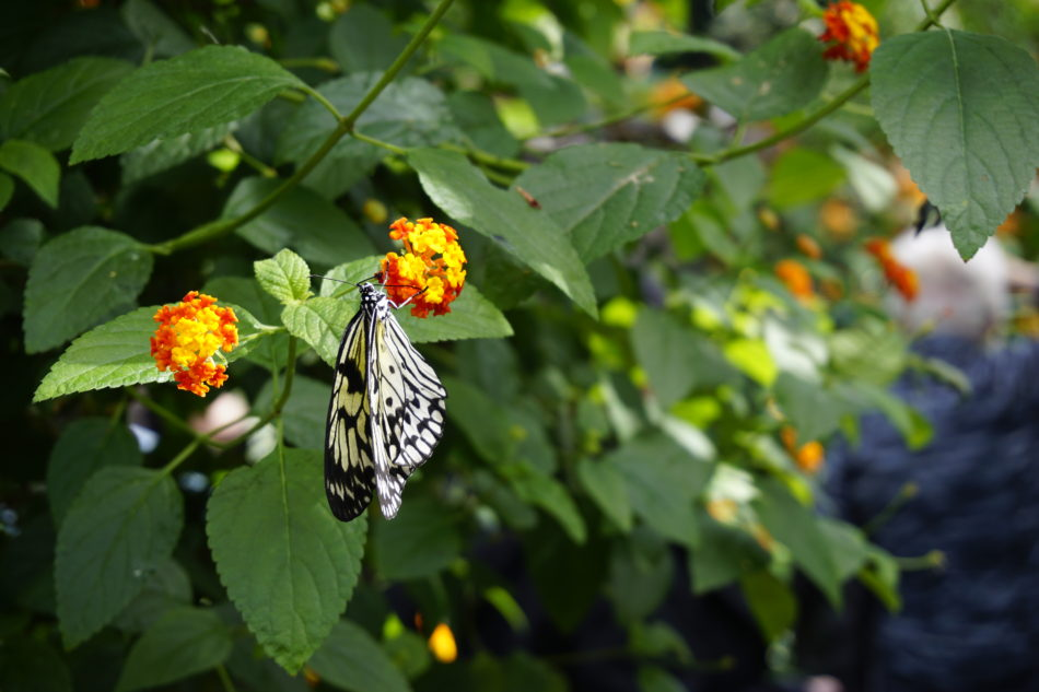 A butterfly gathering pollen in an orange flower in the Botanical Garden in Montreal