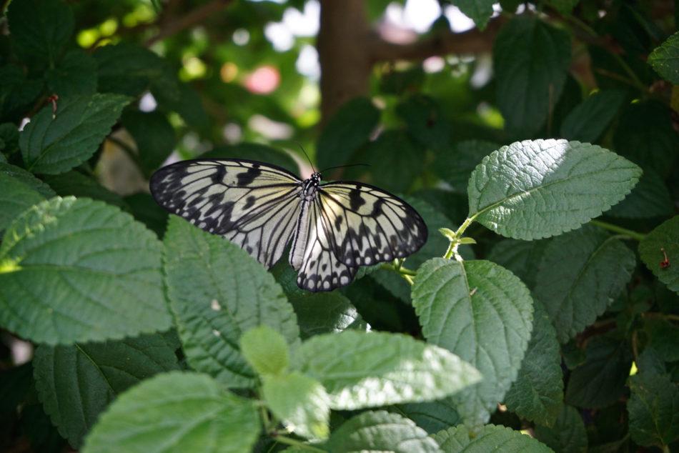A light yellow butterfly in the Montreal Botanical GardenUn papillon jaune clair au jardin botanique de Montréal