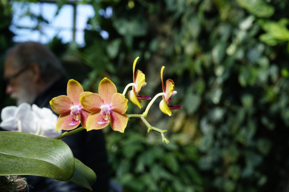 A gorgeous orange and pink orchid at the Montreal Botanical Garden