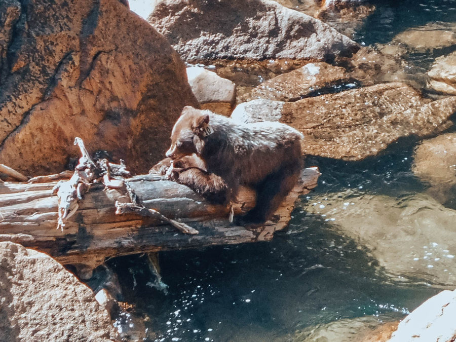 Itinerary USA road trip by bus - A bear in Yosemite NP