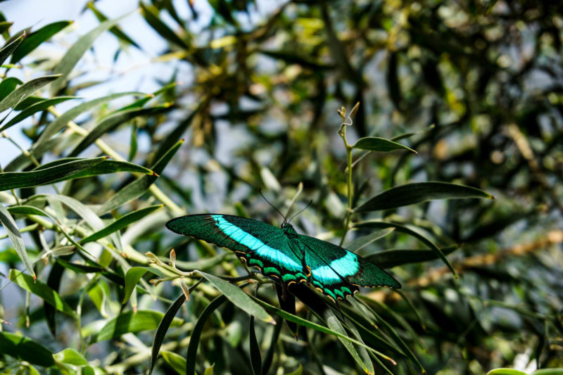 Beautiful green butterfly at the Montreal Botanic Gardens