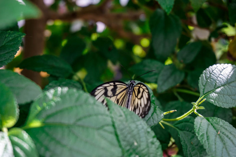 Pretty light yellow butterfly at Montreal Botanical Gardens
