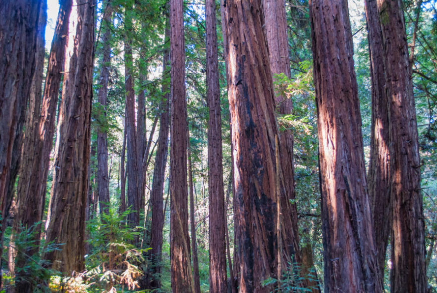 The legendary trees from Redwood National Park to absolutely put on your California road trip itinerary